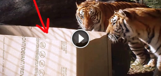 BIG CATS like boxes too