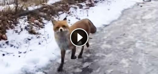 Walk along with fox