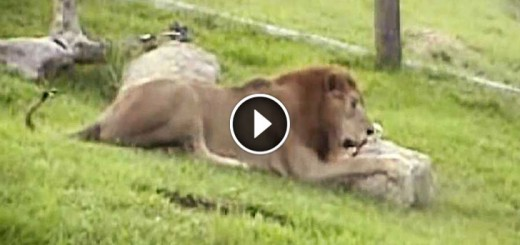 Lion Feels Grass For The First Time