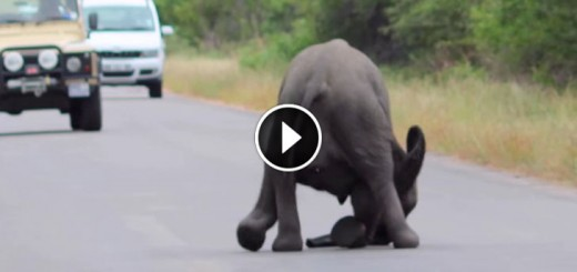 baby elephant collapses road family-resque
