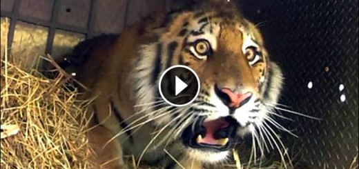 Amur tiger released in Russia