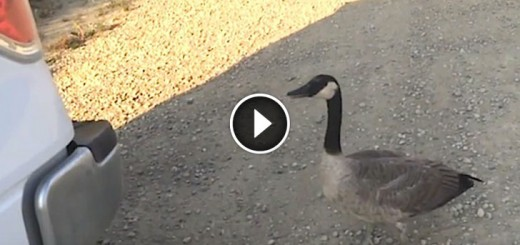 canada goose follows