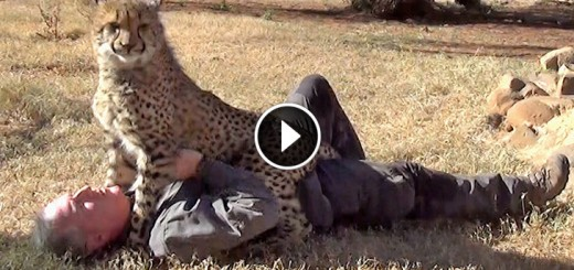Taking A Nap With Loving Female Cheetah