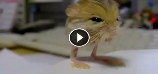 pygmy jerboa animal adorable