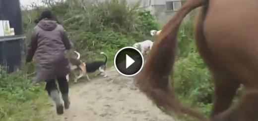 woman save fox hunt