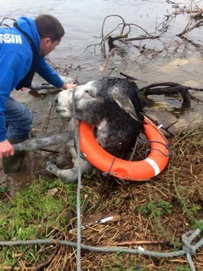 donkey flood rescued 4